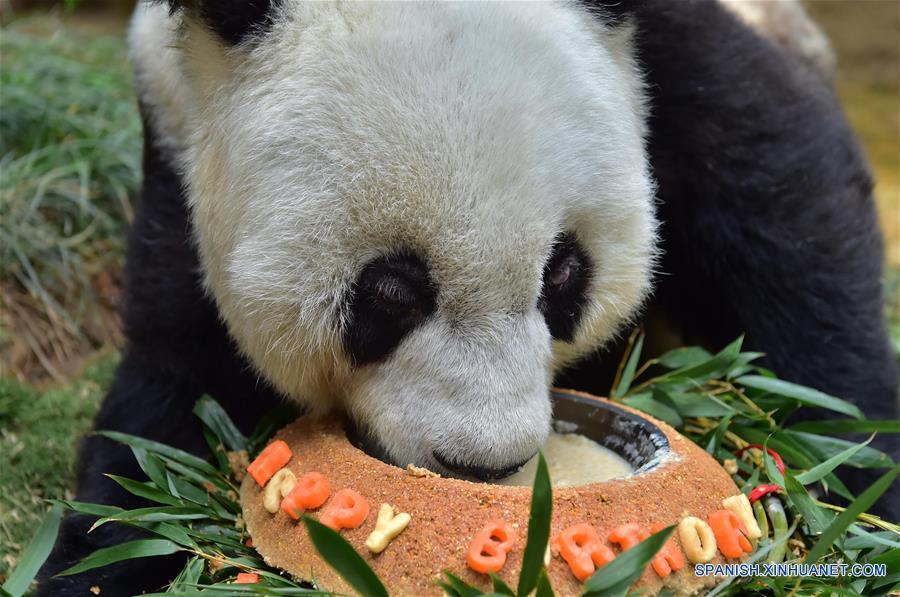 El panda gigante Basi se alimenta con su tarta de cumpleaños en el centro de investigación e intercambio del panda, en Fuzhou, capital de la provincia de Fujian, en el sureste de China, el 17 de enero de 2017. Basi, la panda más longeva del mundo en cautiverio, cumple 37 años, un equivalente a más de 100 años humanos, Basi nació en 1980 en el condado de Baoxing, provincia de Sichuan, en el suroeste de China. Y ella fue el prototipo para la mascota Panpan para los Juegos Asiáticos de Beijing 1990. (Xinhua/Wei Peiquan)