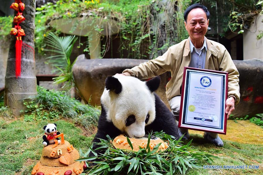 """Chen Yucun, director del centro de investigación e intercambio del panda, muestra el certificado del """"panda gigante más lonvego del mundo en cautiverio"""" junto al panda gigante Basi, en el centro de investigación e intercambio del panda en Fuzhou, capital de la provincia de Fujian, en el sureste de China, el 17 de enero de 2017. Basi, la panda más longeva del mundo en cautiverio, cumple 37 años, un equivalente a más de 100 años humanos, Basi nació en 1980 en el condado de Baoxing, provincia de Sichuan, en el suroeste de China. Y ella fue el prototipo para la mascota Panpan para los Juegos Asiáticos de Beijing 1990. (Xinhua/Wei Peiquan)"""