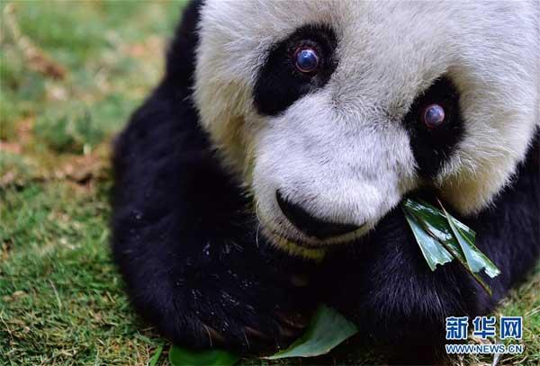 """在海峡(福州)大熊猫研究交流中心拍摄的大熊猫""""巴斯"""""""