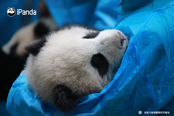 萌萌的熊猫幼仔