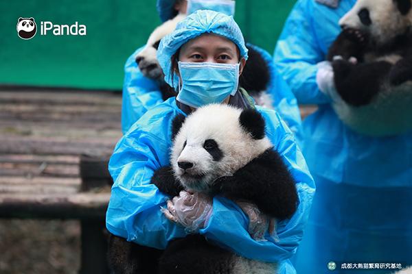 熊猫幼仔和饲养员