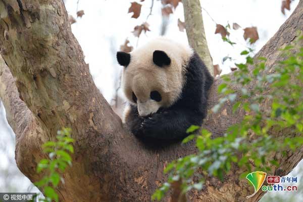 成都大熊猫春日萌哒哒 令无数游客纷纷大笑