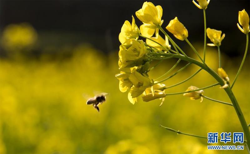 Photo prise le 5 février, une abeille butine sur le champs de colza en fleur.