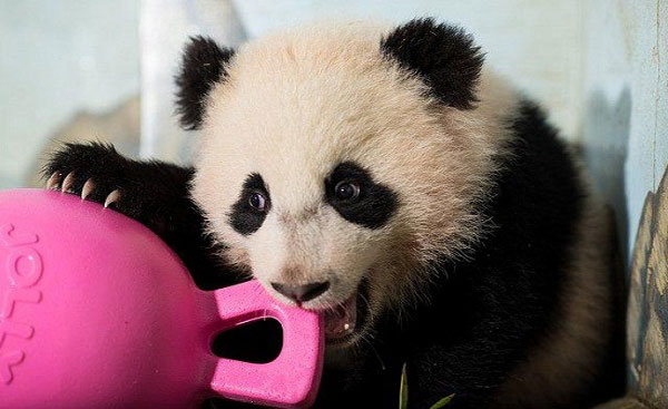 Giant Panda Bao Bao at the Washington Zoo.[Photo: Chinanews.com]