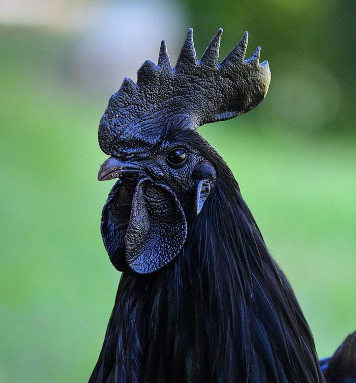 Un poulet entièrement noir qui coûte 2500 dollars