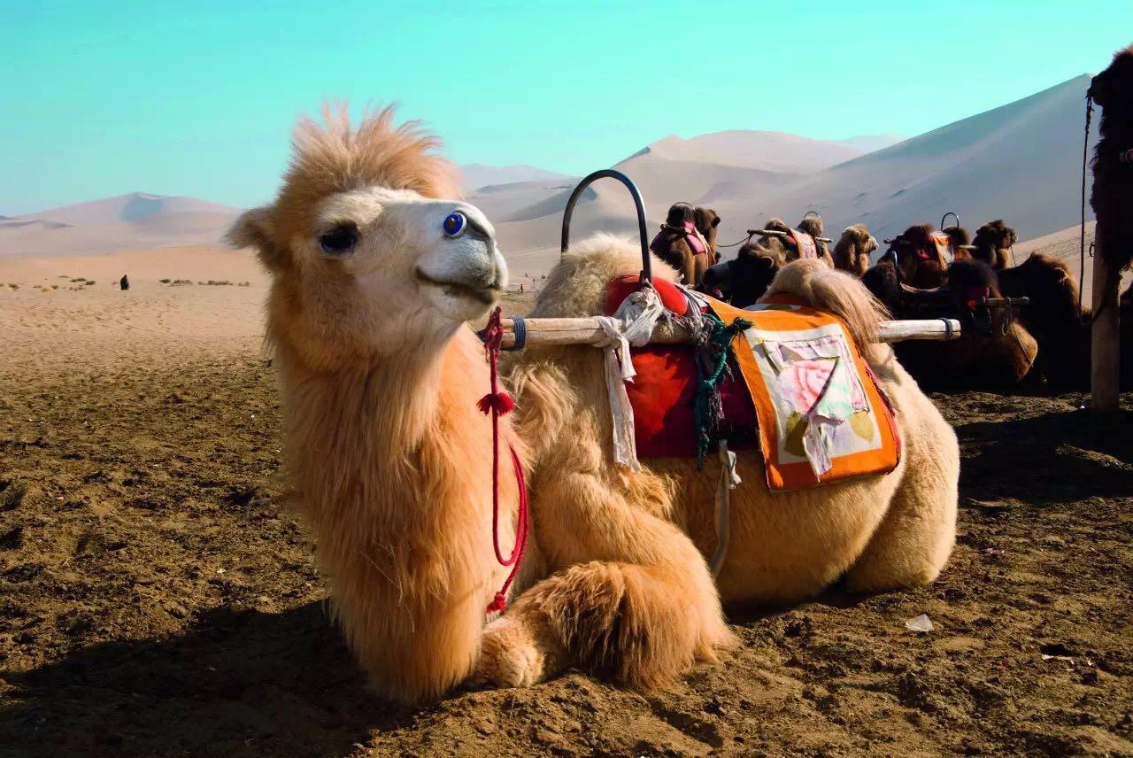 """在傍晚时分登上沙丘看辉煌的日落,感受自己被夕阳染成金色与周围环境融为一体的奇妙体验,体会""""长河落日圆,大漠孤烟直""""的雄浑意境。如果你能克服沙漠巨大的早晚温差,那么在沙漠里露营也是不容错过的别样体验。"""