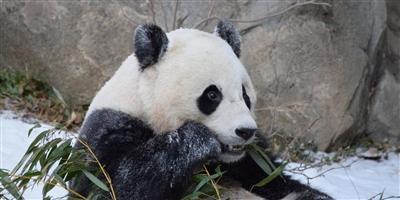"""旅美大熊猫""""宝宝""""22日回国,免费乘坐联邦快递波音777专机,从华盛顿直飞成都"""