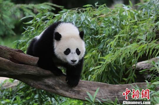 """2月15日,联邦快递宣布:已接获委托,定于美国当地时间21日运送大熊猫""""宝宝""""返回中国。此为""""宝宝""""近照。华盛顿史密森尼国家动物园供"""