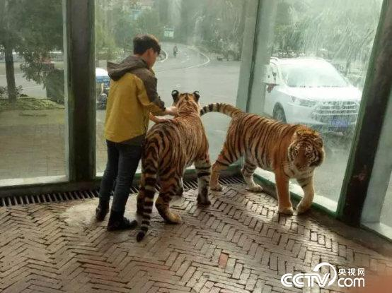 图为贵州森林野生动物园在声明中公布的饲养员与老虎互动的照片.