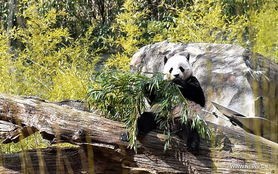 Giant Panda Bao Bao eats bamboo at Smithsonian