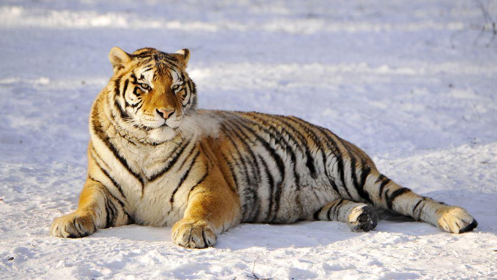 Фотографии располневших тигров из харбинского сафари-парка набирают популярность в Интернете