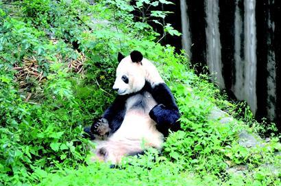 """(大熊猫""""科比""""。资料图)"""