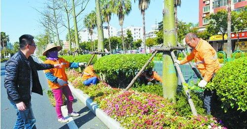 海沧区实行市政环卫绿化一体化,一家公司统管。图为园林工人正在加固树木。