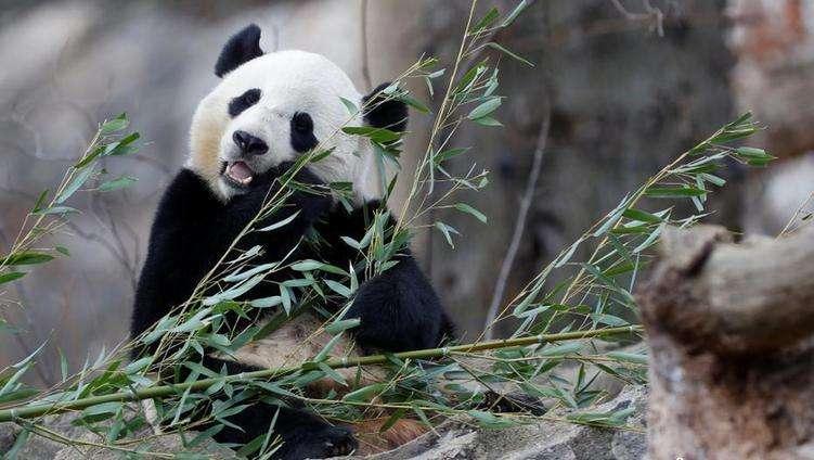 Гигантская панда Бао Бао готовится к перелету в Китай