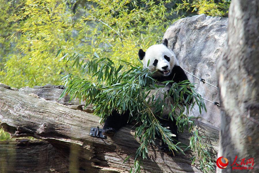 """(2月15日,即将回家的大熊猫""""宝宝""""在华盛顿史密森尼国家动物园熊猫馆内悠闲地吃着竹子。摄影:高石)"""