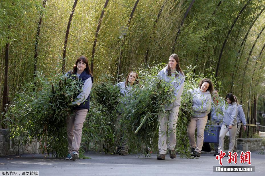 """华盛顿国家动物园的饲养员们抱来了竹子,供""""宝宝""""在返程的路上食用。""""宝宝""""自出生以来便受到全美的关注,它的首次公开亮相使得整个华盛顿国家动物园热闹非凡,有粉丝驱车9小时只为一睹它的萌态。"""
