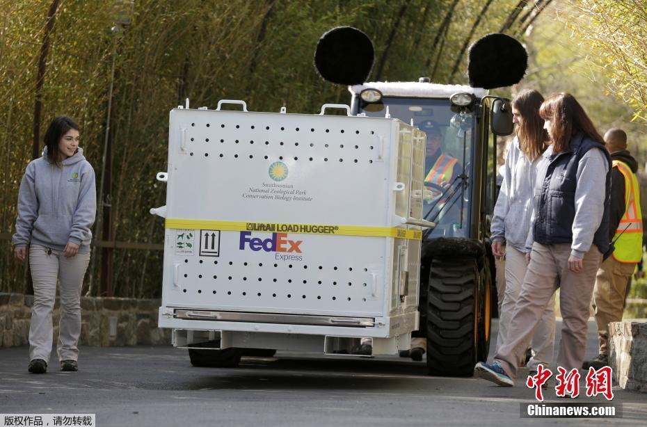 """车辆拉着装有大熊猫""""宝宝""""的航空包厢驶离华盛顿国家动物园。按照中美两国的约定,""""宝宝""""需要在4岁之前返回中国。"""