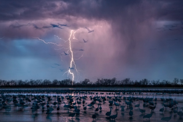 Hundreds of thousands of sandhill cranes (Grus canadensis) converge on Platte River in Nebraska as part of their annual migration. Photographer Randy Olson was taking long-exposure shots in March when lightning struck, creating these ghostly outlines.
