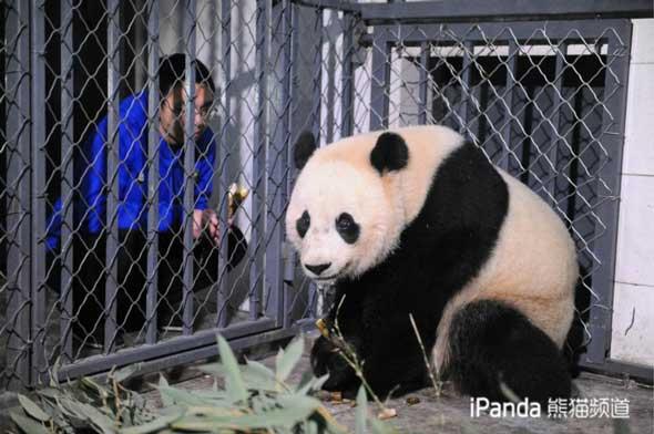 """大熊猫""""宝宝""""和饲养员"""