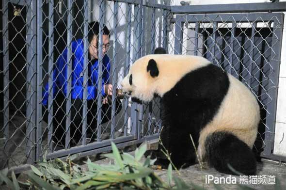 """饲养员喂大熊猫""""宝宝""""吃竹笋"""