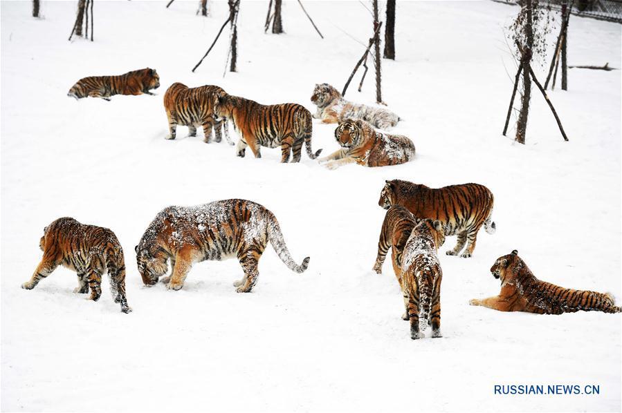 Амурские тигры в Харбине радуются выпавшему снегу