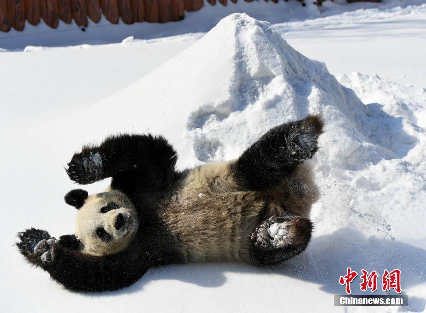 大熊猫在雪地撒欢玩耍