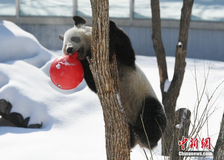 大熊猫在雪地撒欢玩耍,萌态可掬
