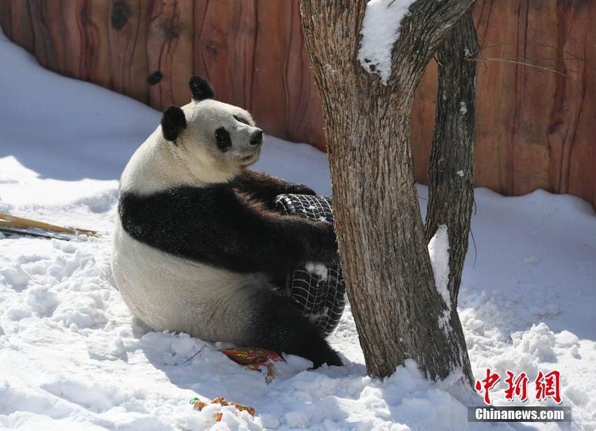 大熊猫雪地玩轮胎