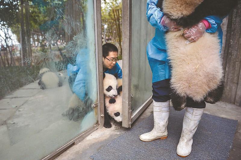 大熊猫保姆们随时要保持高度警惕,只要有一点缝隙,调皮的大熊猫宝宝就想趁机溜出去。