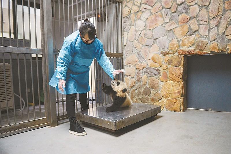 饲养员为一只大熊猫宝宝称体重时被它咬住了袖子。