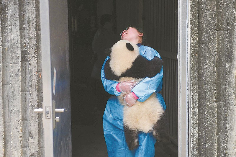 这批大熊猫宝宝最重的达到17公斤,饲养员越来越抱不动它们了。