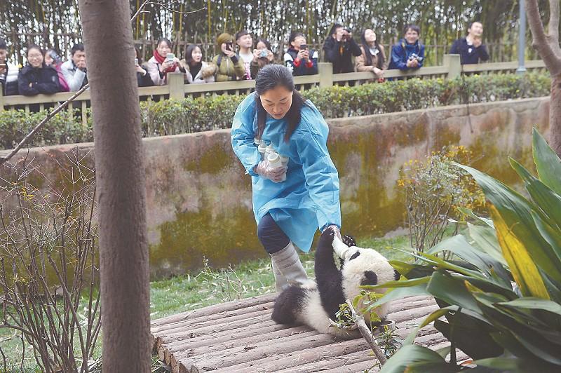 饲养员抱着一大堆奶瓶逐个给大熊猫宝宝喂奶。