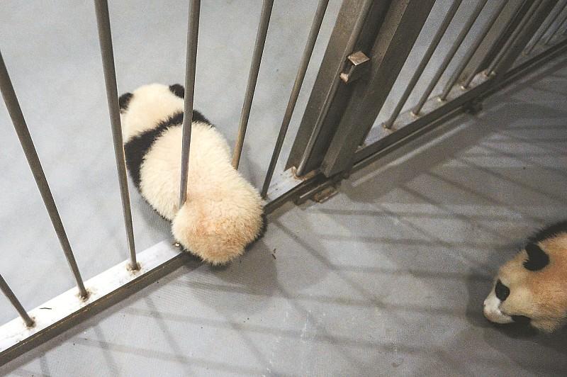 """一只大熊猫宝宝正企图""""越狱""""。"""