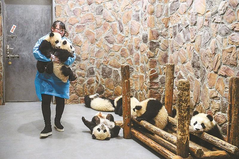 看着自己精心照顾的大熊猫宝宝茁壮成长,段东琼心里充满成就感。