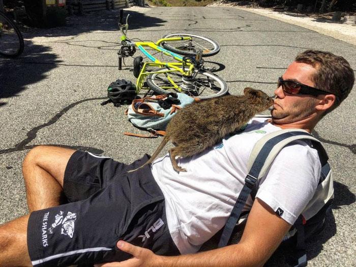 Un homme rencontre un quokka et l'animal ne veut pas le laisser tranquille
