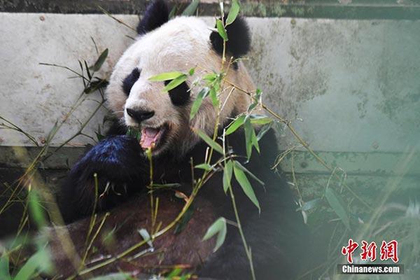 """大熊猫""""蜀兰""""正在进食中(新社记者 杨艳敏 摄)"""