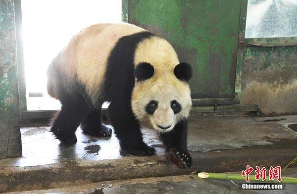 """大熊猫""""蜀兰""""进食后散步中(新社记者 杨艳敏 摄)"""