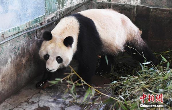 """大熊猫""""蜀兰""""进食后散步中"""