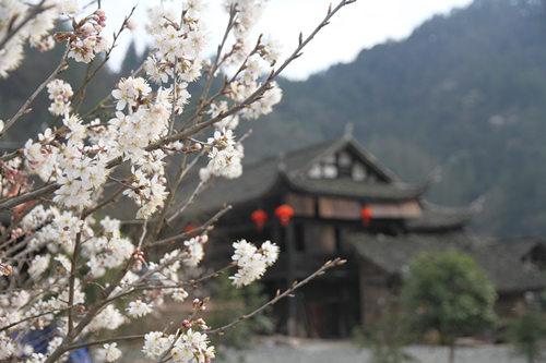 永定区王家坪镇,一簇早樱开在石堰坪村古老的吊脚楼前。
