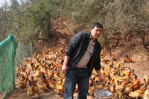 永定区马头溪村村民龚安平,在政府支持下,办起了养鸡场。