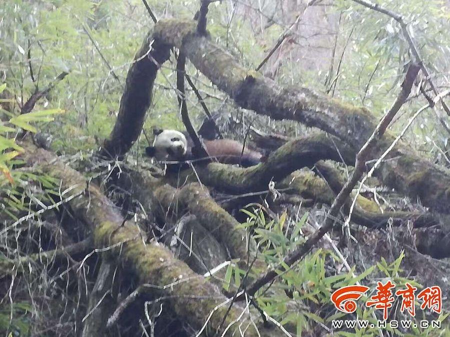 游客在黄柏塬景区所拍大熊猫