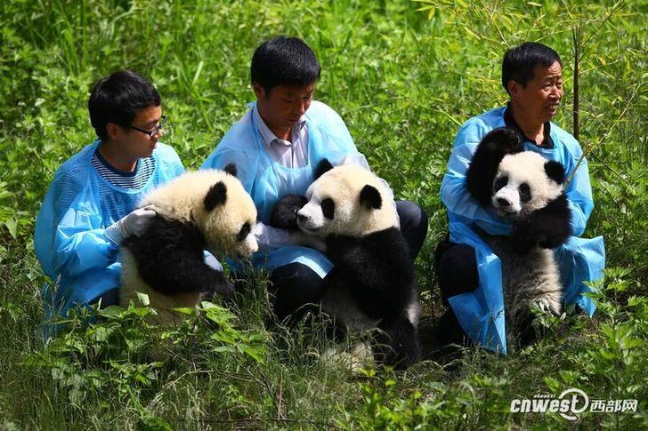 陕西省珍稀野生动物抢救饲养研究中心的大熊猫三姐妹与游客见面。(资料图)