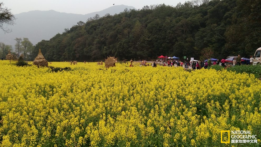 婺源油菜花|桃源深处黄青绿,又到一年赏花季