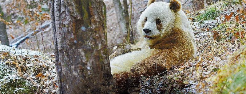 """棕色大熊猫""""七仔"""""""