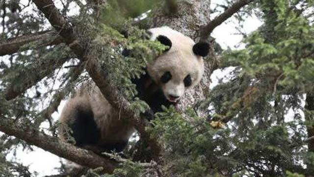 陕西大熊猫逛县城爬树睡大觉(网络资料图)