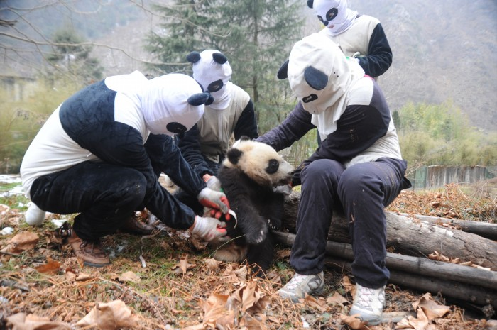 深山里的熊猫人(资料图)