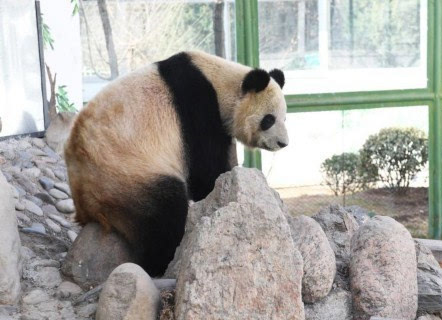 """大熊猫""""蜀兰"""""""