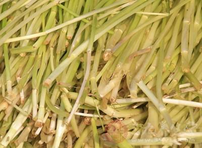 芦蒿是一种高蛋白低脂肪的蔬菜
