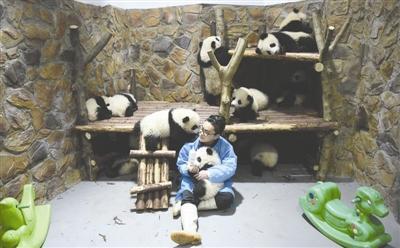 """熊猫""""奶爸""""张粤正在喂熊猫宝宝"""