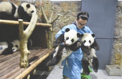 """张粤在""""搬运""""熊猫宝宝"""